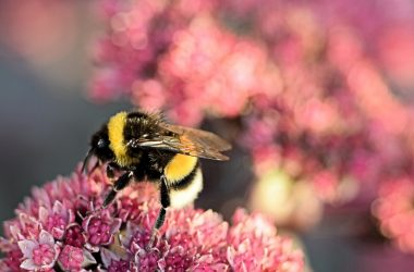 bumblebee-3647445_1920